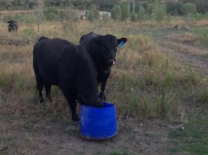 Angus bulls for sale $3000 Gin Gin Bundaberg Surrounds Preview