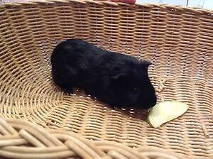 guinea pigs in perth region wa gumtree australia free local classifieds. Black Bedroom Furniture Sets. Home Design Ideas