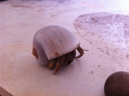 Large hermit crab Seacombe Gardens Marion Area Preview