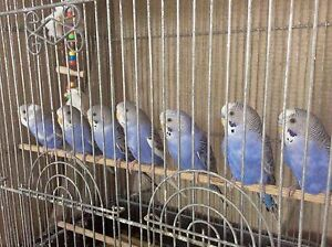 Budgies for Sale - $20 South Perth South Perth Area Preview