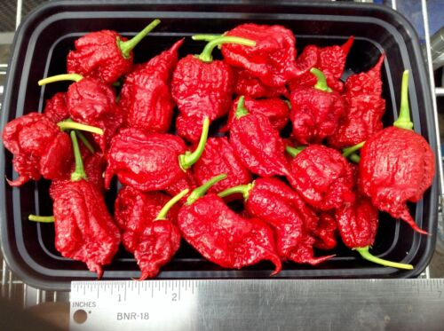 """Carolina Reaper, red podded pepper ( 3 plants ) 6"""" to 10"""" tall, FREE SHIPPING"""