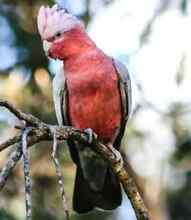 Galah Male Wanted. Noble Park Greater Dandenong Preview