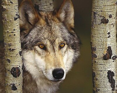 Wolf 8 x 10 GLOSSY Photo Picture IMAGE #12