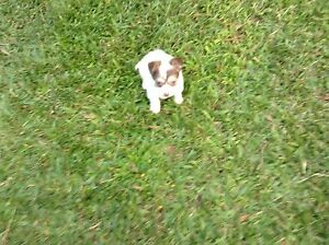 Chihuahua puppy Palmwoods Maroochydore Area Preview