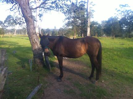 QH Unreg Burnt Buckskin Mare Blue Haven Wyong Area Preview