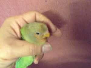 Super friendly hand feed baby Lovebird for sale