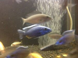 Electric Blue Cichlids Maroubra Eastern Suburbs Preview
