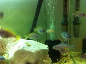 Cichlids, bristle nose and shrimp SALE Peakhurst Hurstville Area Preview