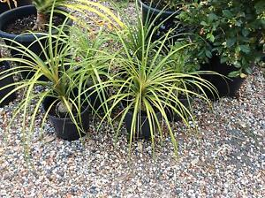 5 ponytail palms in 200 mm pots Leppington Camden Area Preview