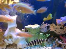 The whole beautifull Aafrian cichlid tank for sale Bankstown Bankstown Area Preview