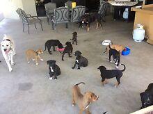 Rottweiler/Mastiff X Kelpie puppies Mackay Surrounds Preview
