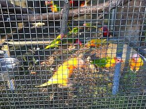 Pied and lutino and mustard and olive rainbow lorikeets Browns Plains Logan Area Preview