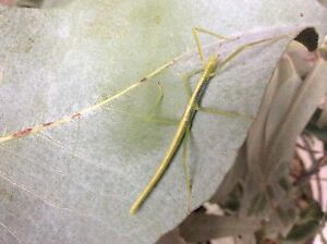 STRONG STICK INSECT nymphs FOR SALE Aberfoyle Park Morphett Vale Area Preview