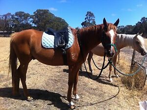 Thoroughbred Gelding 16.2hh For Sale Albany Albany Area Preview
