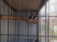 Birds parrots Hillside Melton Area Preview
