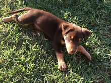 Pure Kelpie puppies Tyndale Clarence Valley Preview
