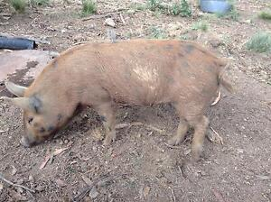 6 months old pigs Bombala Bombala Area Preview