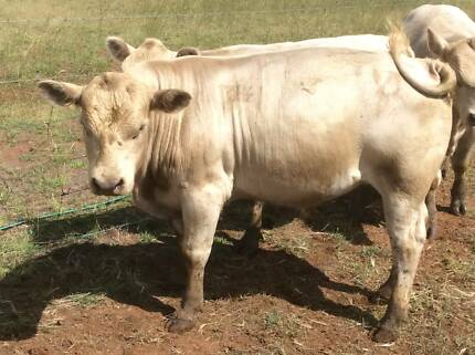 Square Meater Bulls For Sale