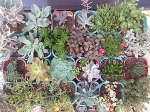 SUCCULENTS - Mixed variety Bulli Wollongong Area Preview