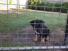 "AUSTRALIAN KELPIE ""PUREBRED"" Pup Puppies Correct Ph No UP-DATED Deception Bay Caboolture Area Preview"