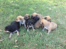 Pups for sale Kojonup Pallinup Area Preview