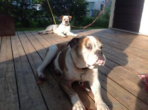I am looking for a male American bulldog to breed my female