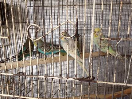 Assorted young coloured budgies for sale Kyneton Macedon Ranges Preview