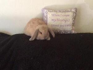 Mini lop bunnies Wanneroo Wanneroo Area Preview