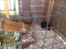 Guinea pigs for sale Roleystone Armadale Area Preview
