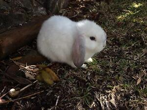 Rabbit (lop) Hornsby Heights Hornsby Area Preview