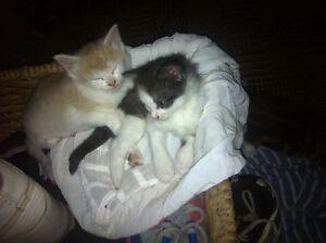 Cute kittens free to good home only Hurstville Hurstville Area Preview