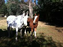 Clydesdale Filly Sisters & Mum/Mare NEW PICS Mathinna Break ODay Area Preview