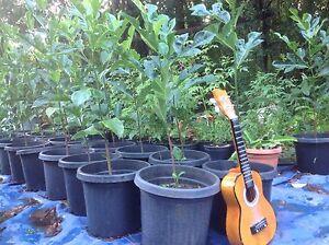 Jak Fruit Trees Tintenbar Ballina Area Preview