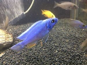 Cichlids Electric blues,Dragon bloods,yellow tailed acei Maroubra Eastern Suburbs Preview