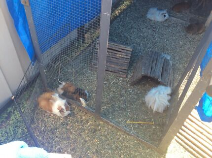 Adult male guinea pigs