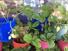 Strawberry plant for sale Waikiki Rockingham Area Preview
