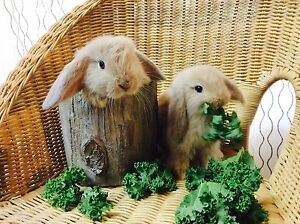 ★★ A Litter Of Faun Baby Mini Lop Rabbits  ★★ Chatswood Willoughby Area Preview