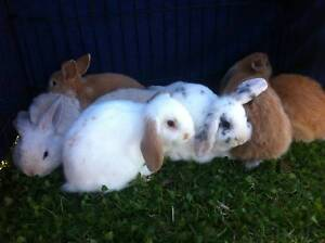 6wk old MINI LOP Bunnies! Very Friendly and Much Loved Bankstown Bankstown Area Preview