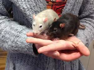 Two hand-raised female pet rats - $5 each Deepwater Glen Innes Area Preview