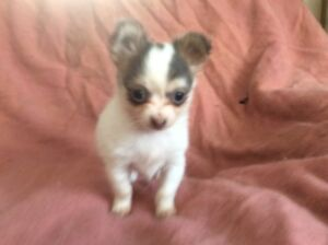 Adorable chihuahua puppy for sale