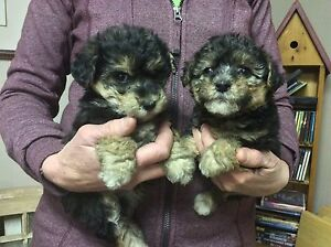Welsh Terrier/ Bichon puppies/ only 2 left