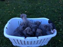 QUALITY PURE BRED WHIPPET PUPPIES FOR SALE Bulahdelah Great Lakes Area Preview