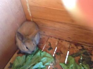 Dwarf lop eared rabbits Clovelly Park Marion Area Preview
