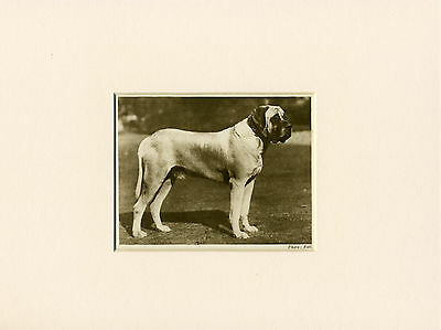 MASTIFF ORIGINAL VINTAGE 1931 DOG PRINT MOUNTED READY TO FRAME