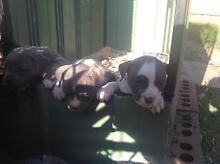 10 blue american staffy pups Keilor East Moonee Valley Preview