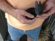 RABBITS -  GIANT FLEMISH X Tweed Heads South Tweed Heads Area Preview