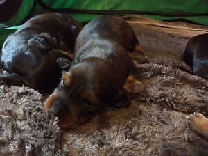 Dachshund Miniature Longhaired puppies male Pedigree Broken Hill Central Broken Hill Area Preview