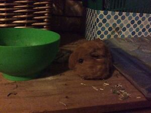 Baby long hair Guinea pig male Forest Lake Brisbane South West Preview