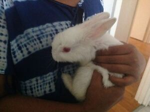 Bunny for sale Noble Park Greater Dandenong Preview