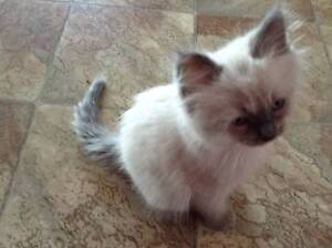 Ragdoll kitten blue point $500 North Maclean Logan Area Preview